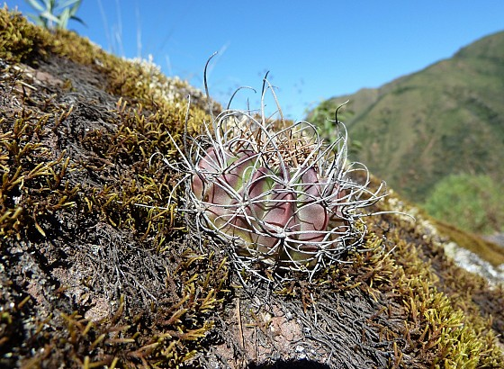 Photograph Echinopsis ancistrophora in habitat