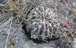 Preview photo Echinopsis ancistrophora
