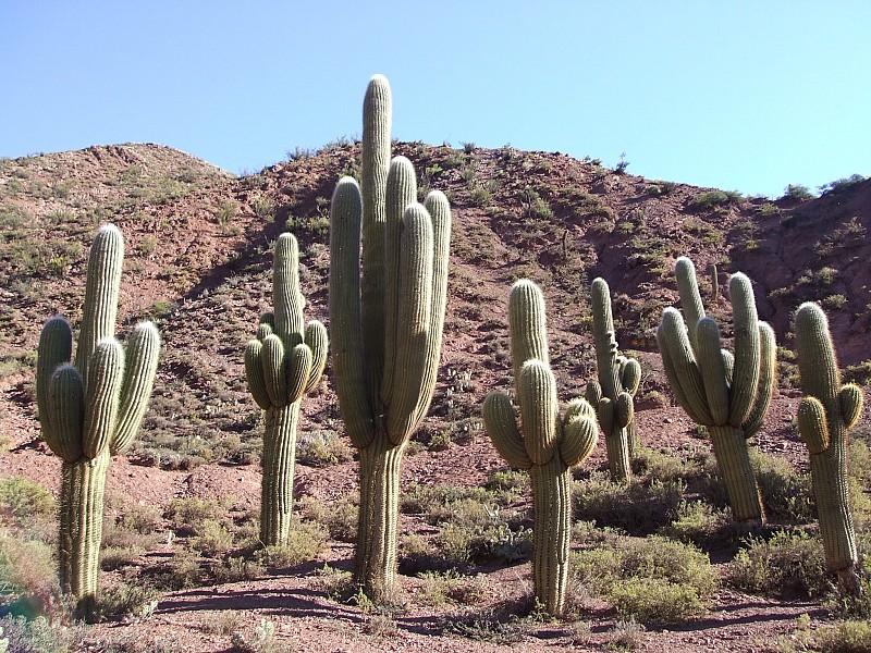 Echinopsis pasacana cactusinhabitat for Cactaceas de chile